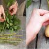 Espeta um ramo de roseira numa batata e… Nem vais acreditar no resultado!